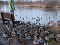 Feeding Frenzy at Riefel Island Bird Sanctuary - panoramio.jpg