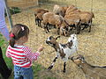 Feeding goats (zoo d'Attilly).jpg