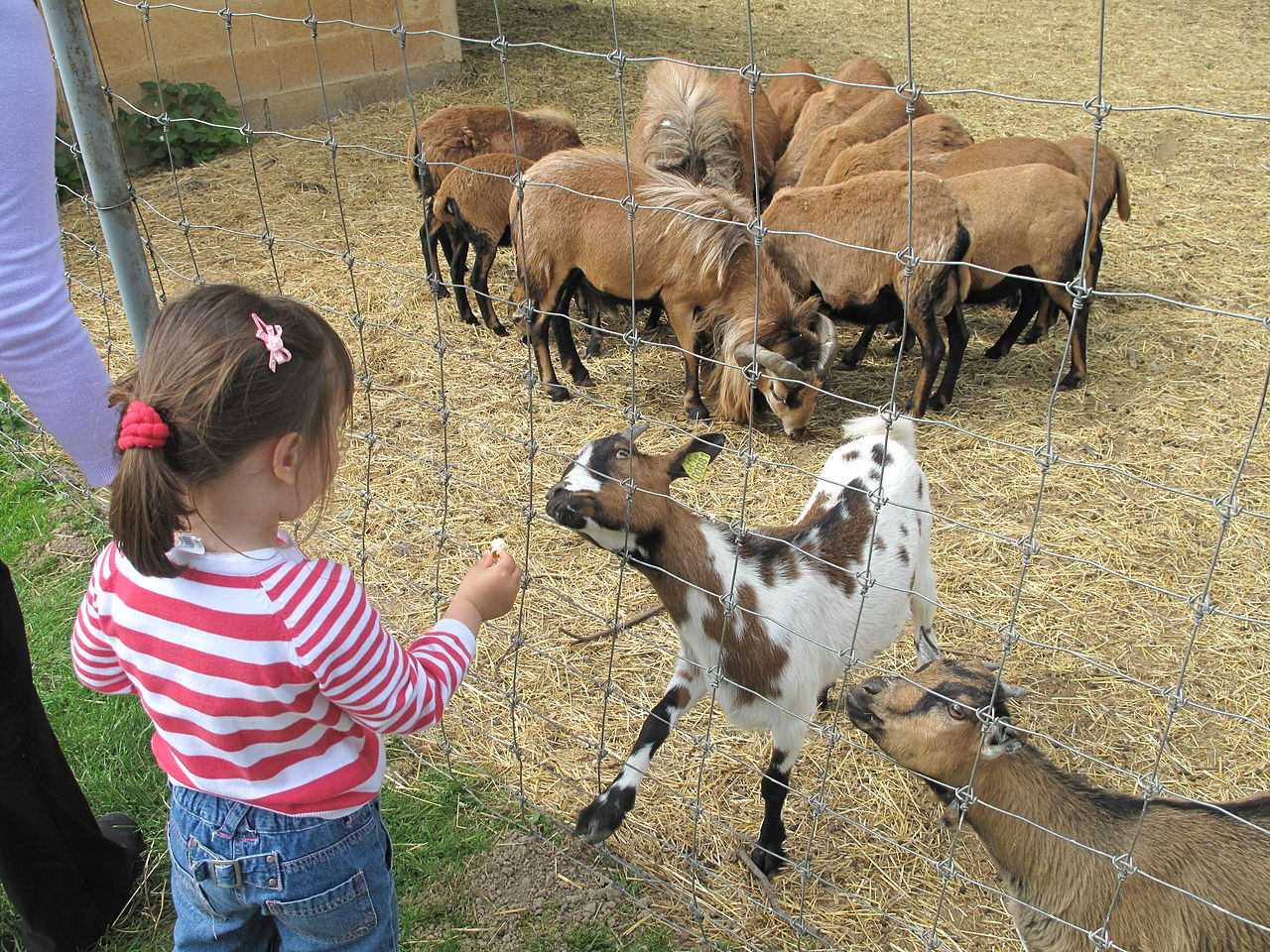 how to raise and care for pygmy goats