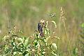 Female Bobolink (Dolichonyx oryzivorus) (14572071725).jpg