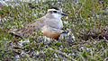 Female Dotterel with chick - only 4th record ever.jpg
