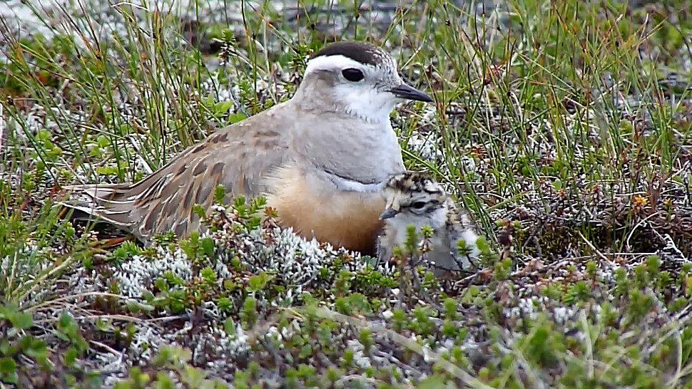 Female Dotterel with chick - only 4th record ever