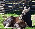 Female moose (13992702263).jpg