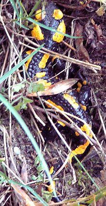 Salamandre et son histoire dans FAUNE FRANCAISE 220px-Feuersalamander