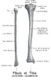 category leg anatomy