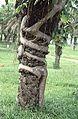 Ficus sp. (17165950196).jpg