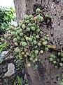 Ficus sp 4.jpg