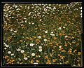 Field of daisies and orange flowers,1a34558v.jpg