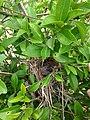 Filhote de ave em meio a laranjeira.jpg