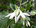 Fiori di Styrax officinalis.jpg
