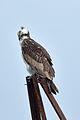 Fischadler Osprey.jpg