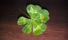Four leaf clover Wikipedia