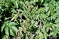 Flétrissure bactéreinne Clavibacter michiganensis ssp sepedonicus 5357042.jpg