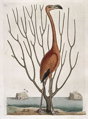 Flamingo with Keratophyton plant, Bahamas, 1731 Wellcome L0035361.jpg