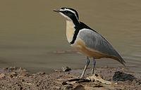 Flickr - Rainbirder - Egyptian Plover (Pluvianus aegyptius).jpg