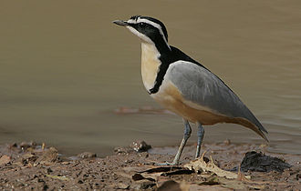 Egyptian plover - Kaur Wetlands, the Gambia