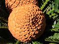 Flickr - brewbooks - Encephalartos ferox.jpg
