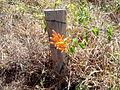 Flor nascendo perto de uma cerca em Itaúna (MG)..jpg