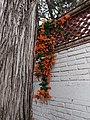 Flores de Bignomia trepando la pared.jpg