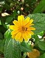 Flores de Guaramiranga CE - Yellow 2.jpg