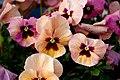 "Flower, Viola ""Terracotta"" - Flickr - nekonomania.jpg"