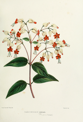 Flower-clerodendron.png