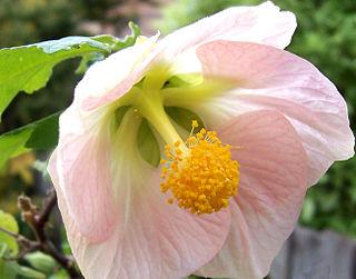 Connation Term in botanical morphology