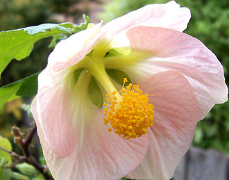 Connation - The stamens of this Hibiscus are synfilamentous.