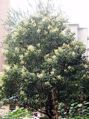Ligustrum lucidum - Image: Flowering Ligustrum Lucidum Tree