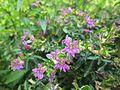 Flowers in Monsoon 04.JPG