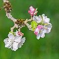 Flowers of Malus domestica (18).jpg