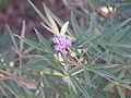 Flowers of Vitex agnus-castus in Texas.jpg