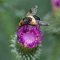 Fly (35360866613).jpg