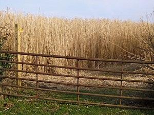 English: Footpath through bio-fuel field [1]