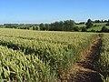 Footpath through wheat, Brightwalton - geograph.org.uk - 893421.jpg