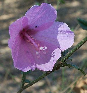 Maputaland-Pondoland-Albany Hotspot - Image: Forest Pink Hibiscus
