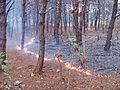 Forest floor fire.jpg