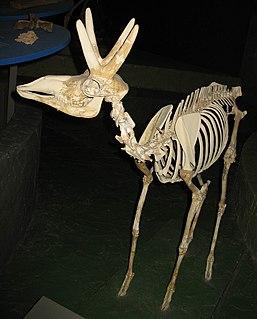 <i>Stockoceros</i> genus of mammals