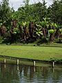 Fougères arborescentes Pairi Daiza 2.JPG