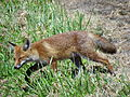 Fox between the Barracks - Majdanek Concentration Camp - Lublin - Poland.jpg