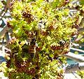 Fraxinus angustifolia, bloeiwyses en bye, d, Tweeling.jpg