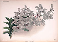 Frederick Sander - Reichenbachia II plate 57 (1890) - Vanda coerulea