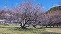 Fujikawa tenjin's plum tree..jpg