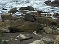 Fur Seal at Flat Point Beach.jpg