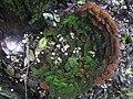 Fuscoporia torulosa (Pers.) T. Wagner & M. Fisch 318650.jpg