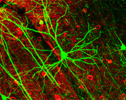 Célula piramidal, en verde (expresando GFP). Las células teñidas de color rojo son interneuronas GABAérgicas.