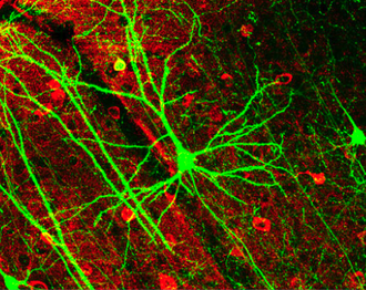 Image of pyramidal neurons in mouse cerebral cortex expressing green fluorescent protein. The red staining indicates GABAergic interneurons. GFPneuron.png