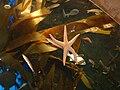 GaAqStarfish.jpg