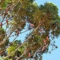 Galahs in tree, Wickepin, 2014(3).JPG