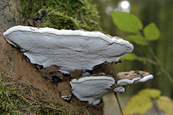 Ganoderma applanatum (Pers.) Pat.